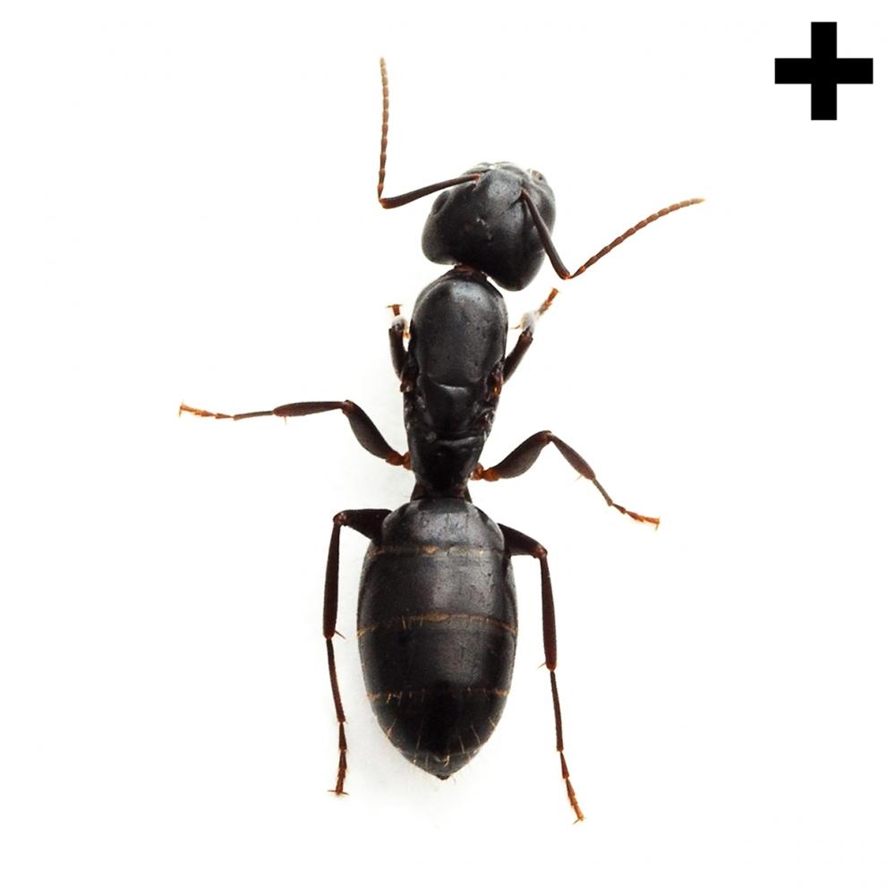 Imagen en la que se ve una hormiga en en vista cenital