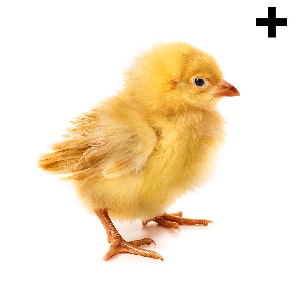 Imagen en la que se ve el plural del concepto pollito