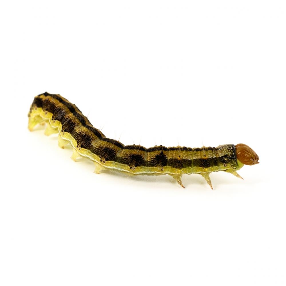 Imagen en la que se ve un gusano
