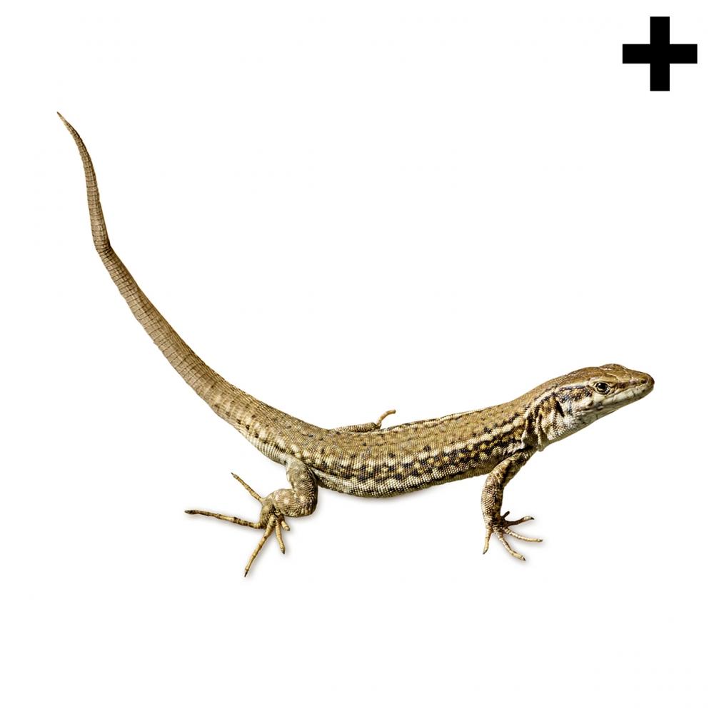 Imagen en la que se ve el plural del concepto lagartija