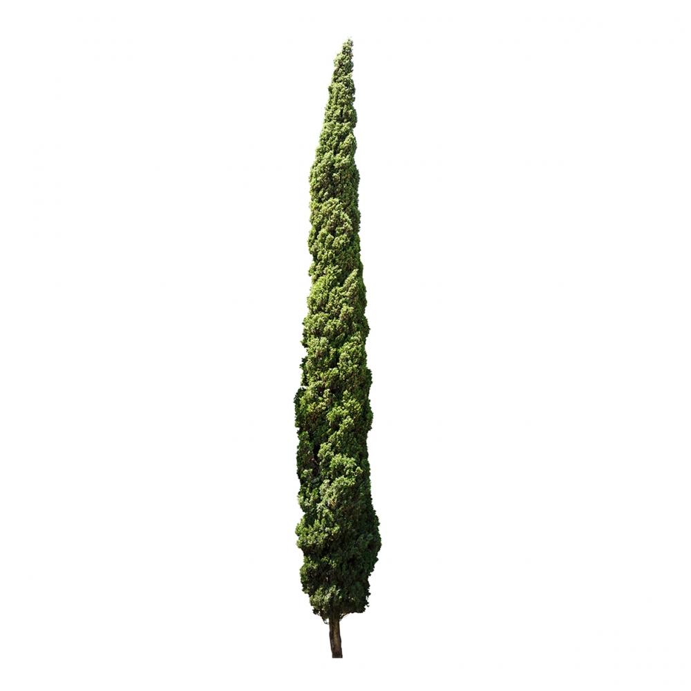 Imagen en la que se ve un ciprés
