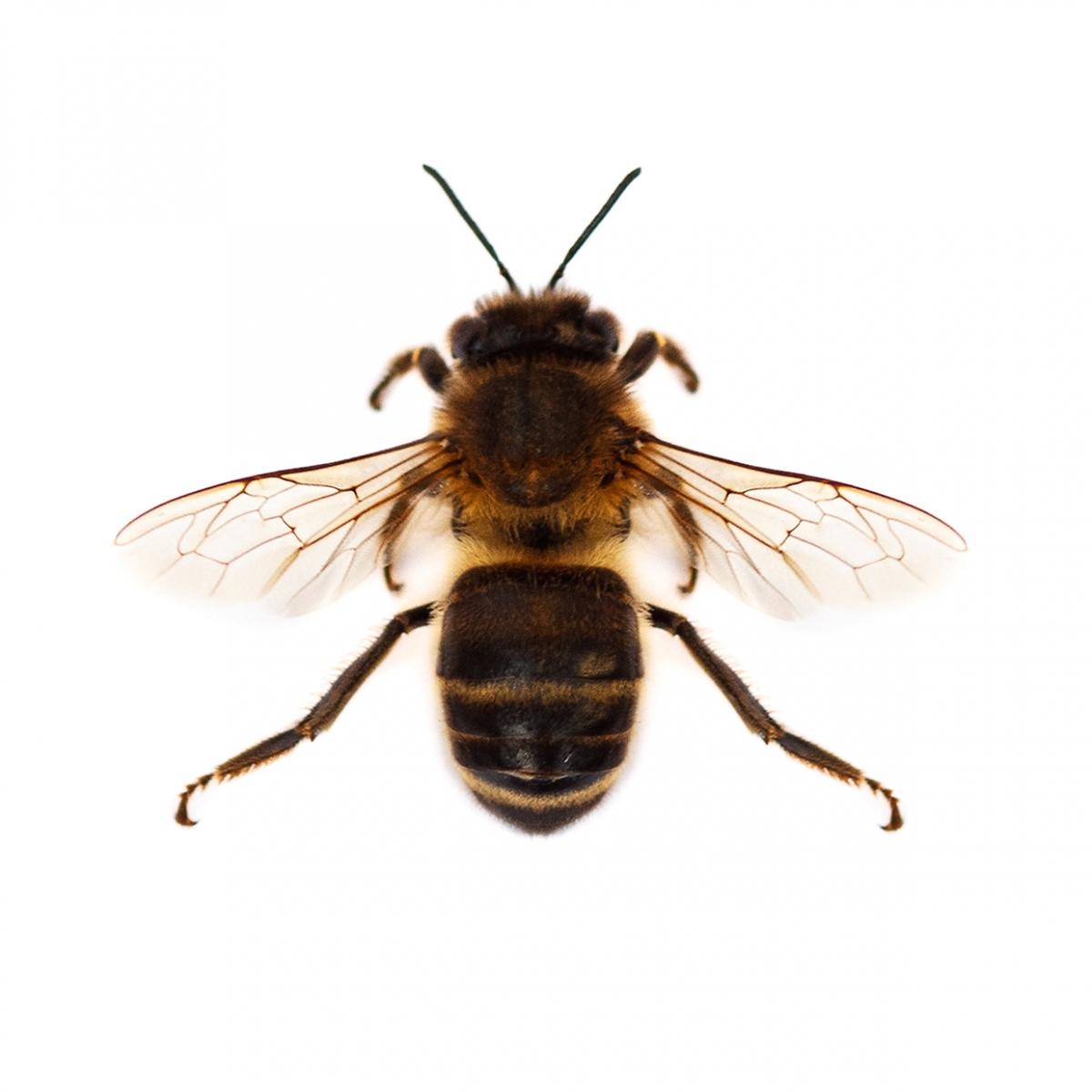 Imagen en la que se ve una abeja en perspectiva cenital