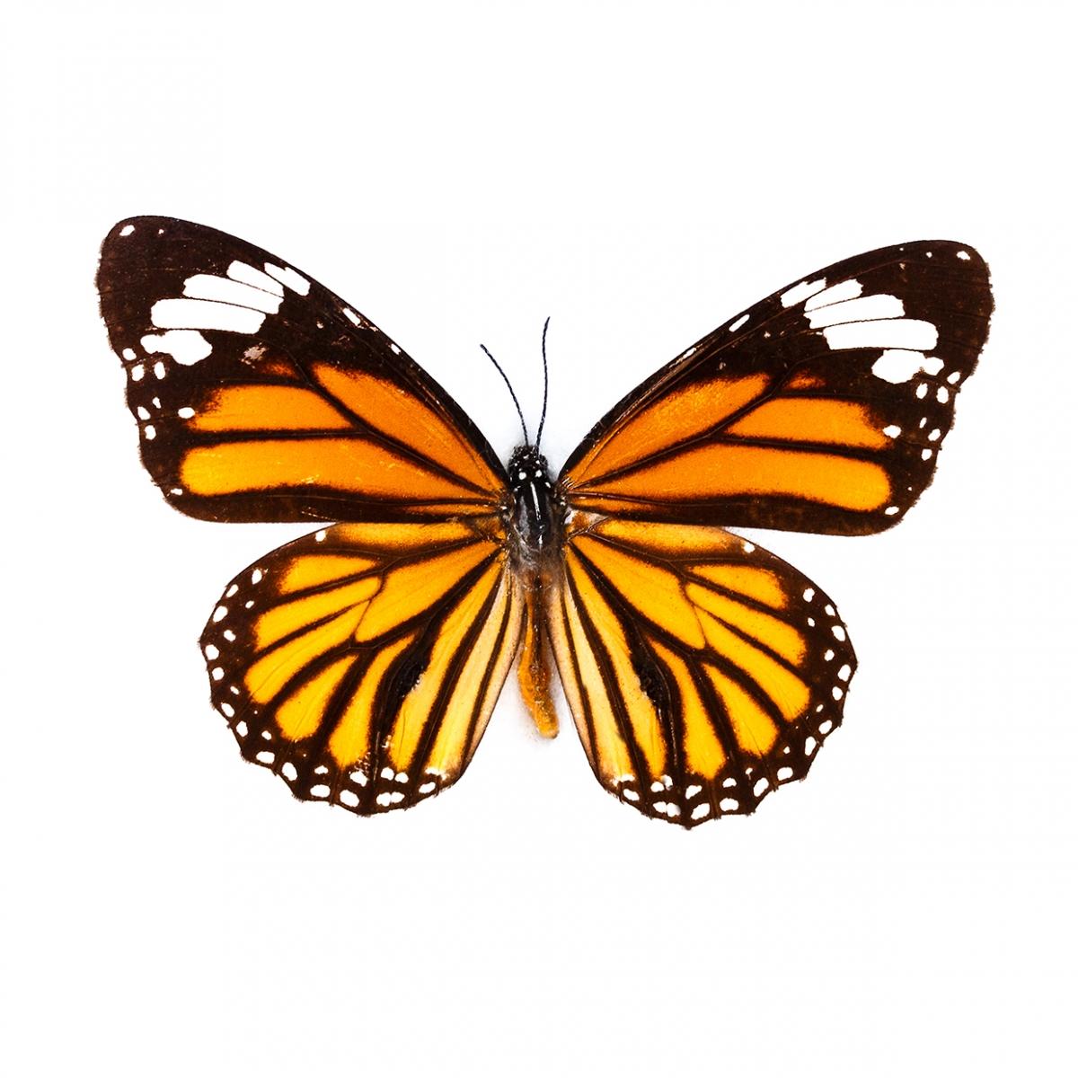 Imagen en la que se ve en perspectiva cenital una mariposa con las alas desplegadas