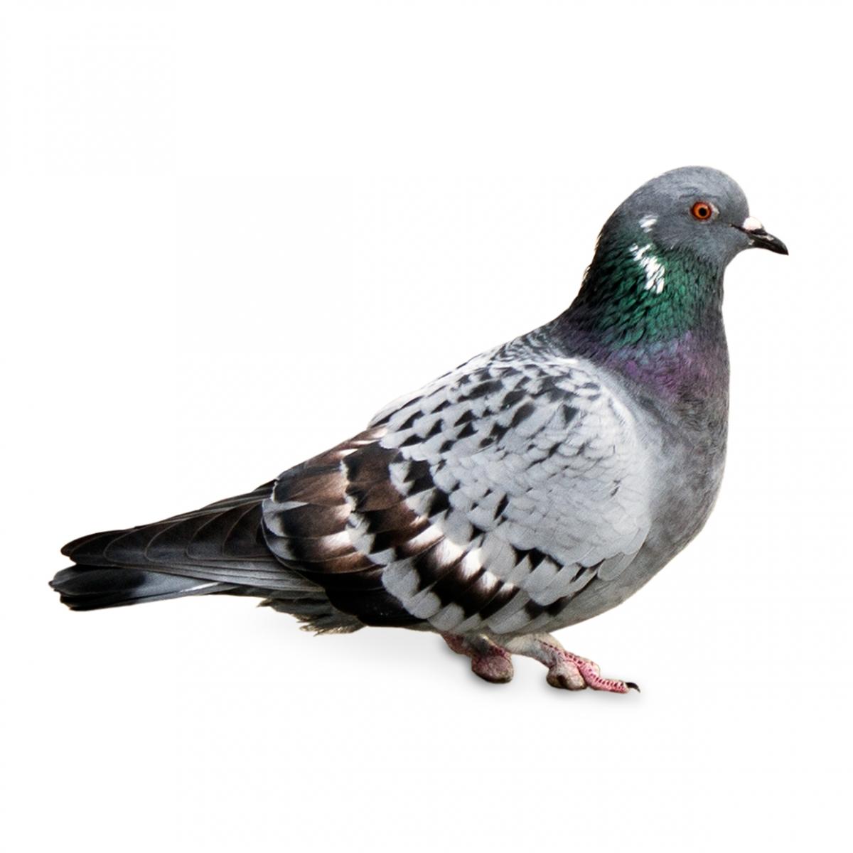 Imagen en la que se ve una paloma en perspectiva lateral