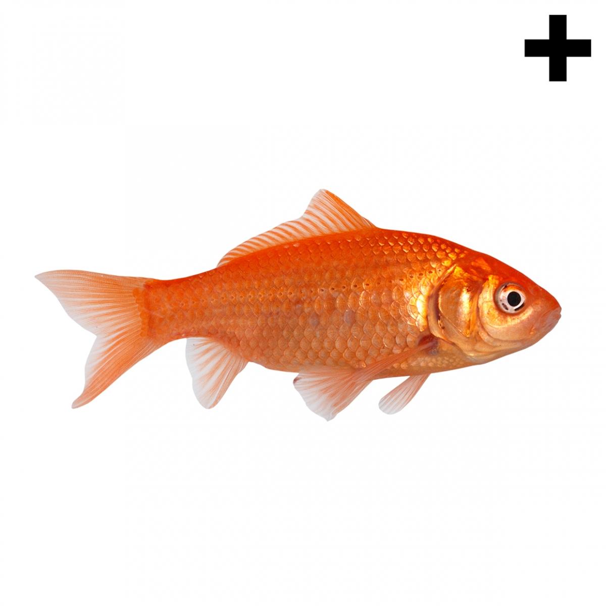 Imagen en la que se ve un pez goldfish en perspectiva lateral