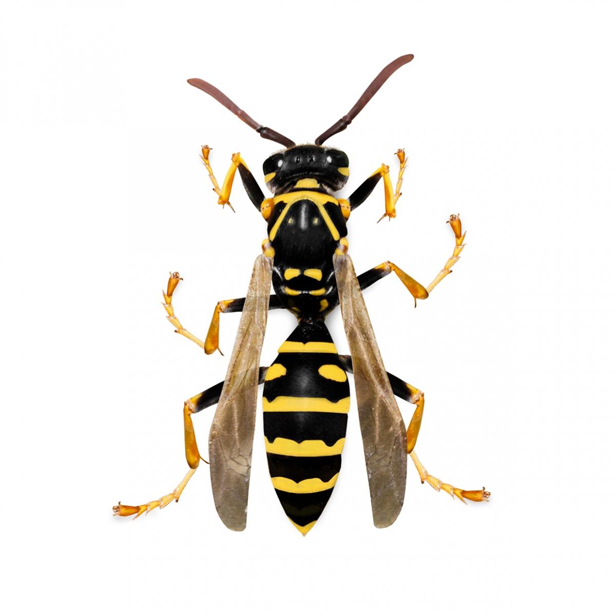 Imagen en la que se ve una avispa