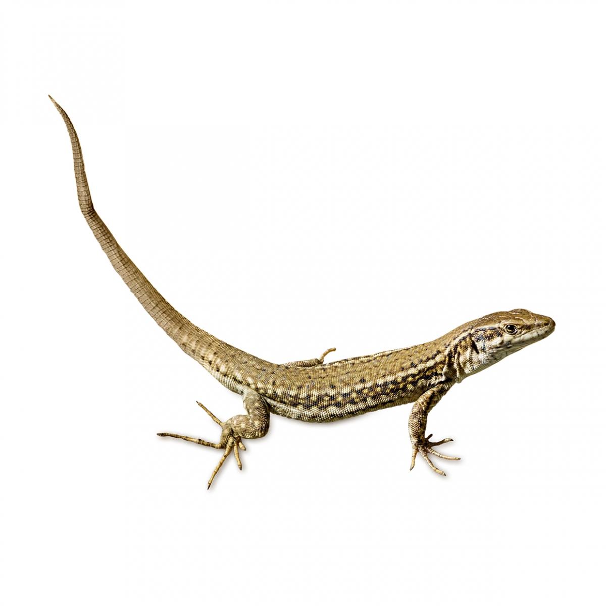 Imagen en la que aparece una lagartija