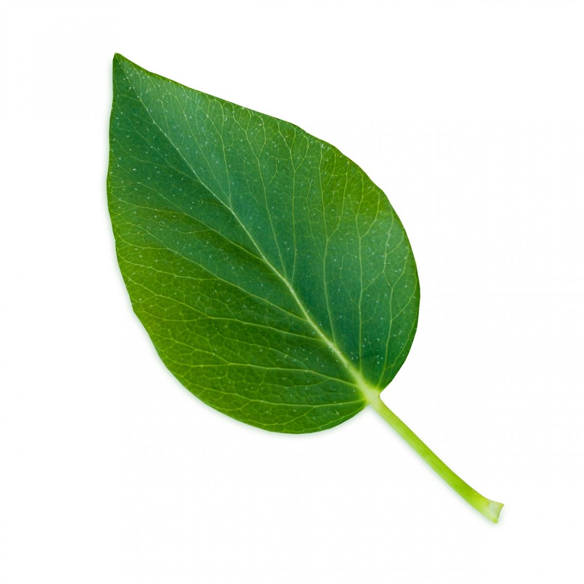 Imagen en la que se ve una hoja verde