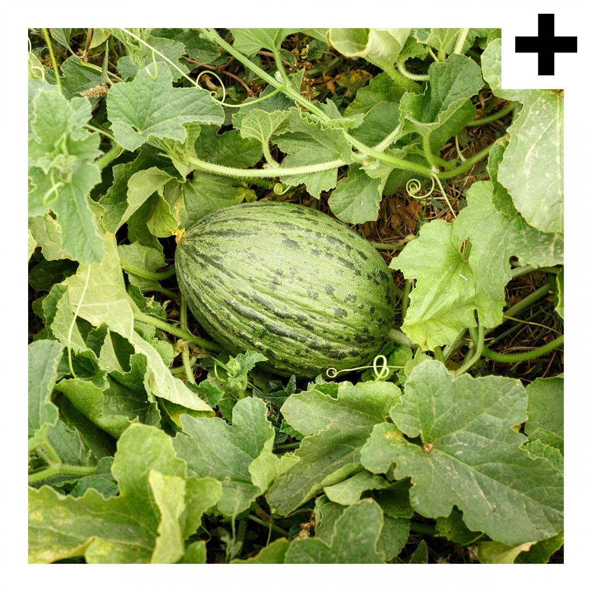Imagen en la que se ve el plural del concepto planta del melón