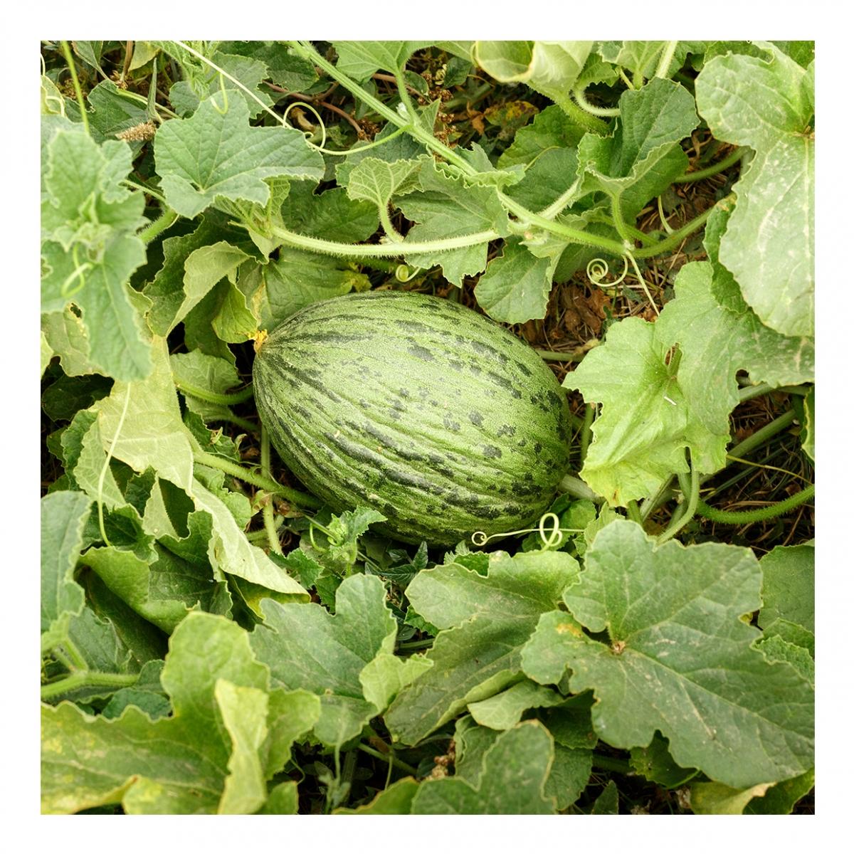 Imagen en la que se ve una planta del melón