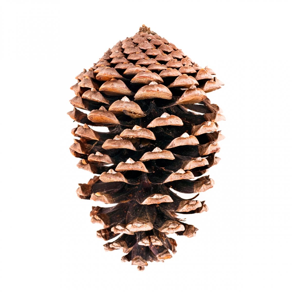 Imagen en la que se ve una piña de pino