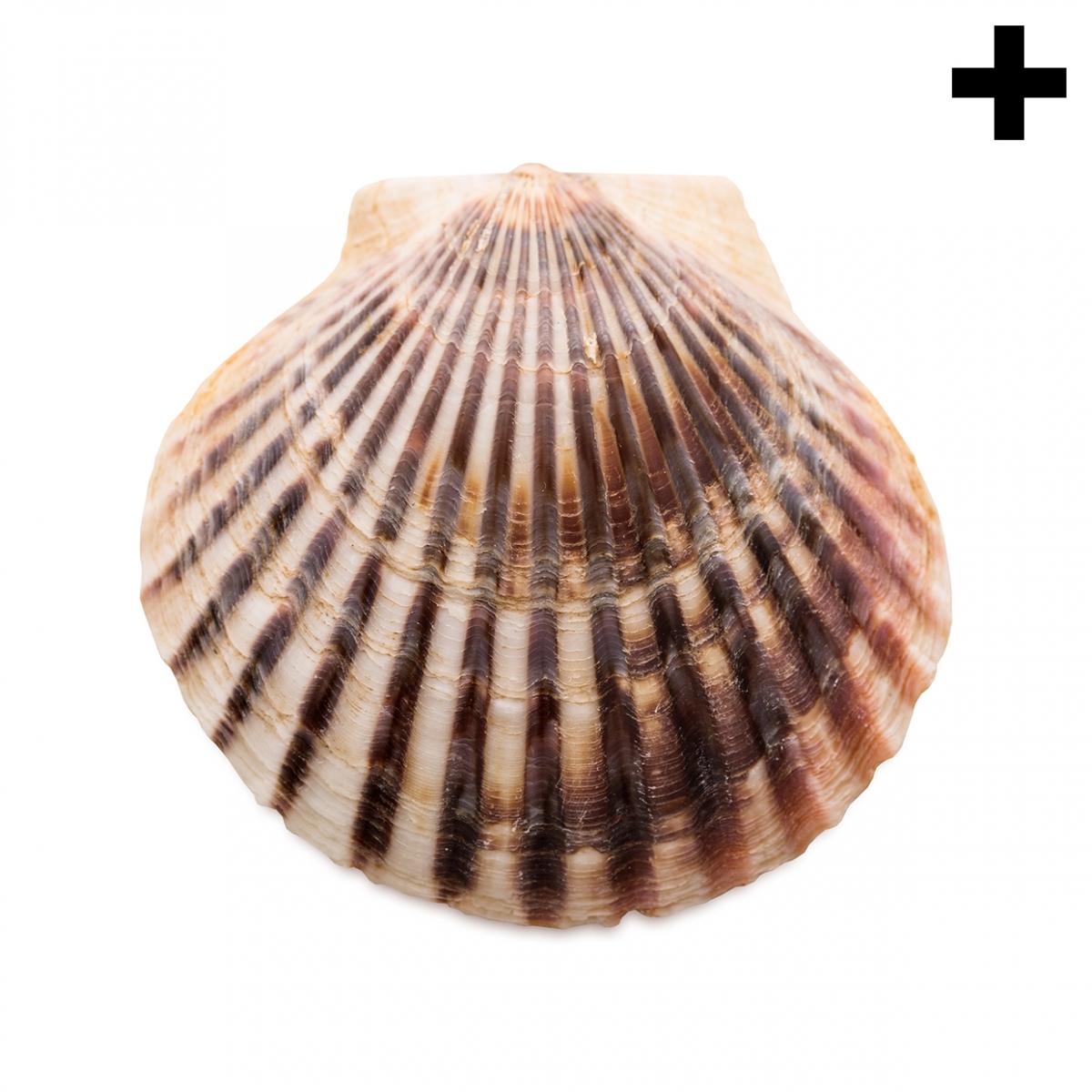 Imagen en la que se ve el plural del concepto concha