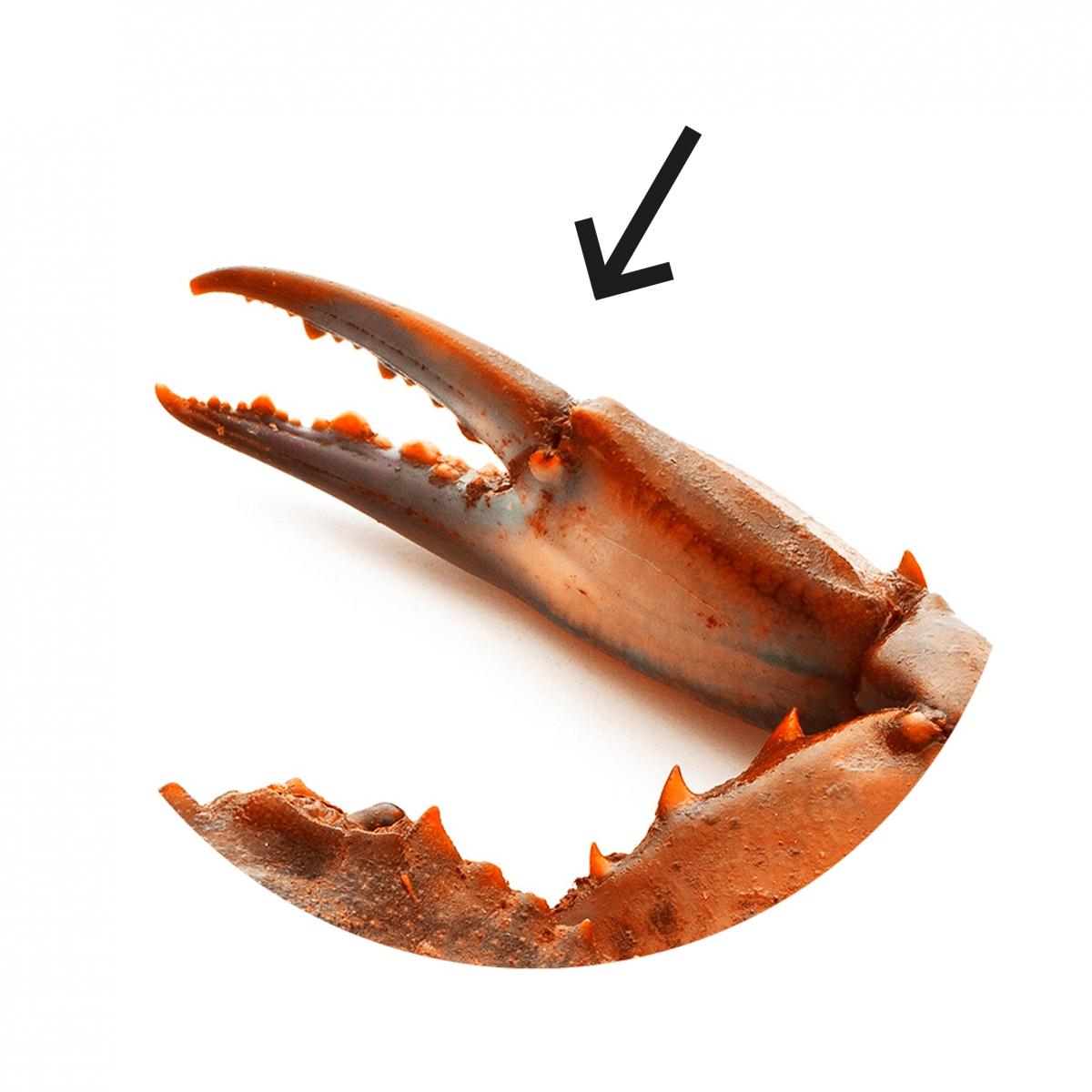 Imagen en la que se ve una pinza de animal