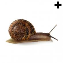 Imagen de un caracol terrestre en vista de perfil