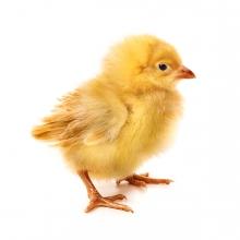 Imagen en la que aparece un pollito