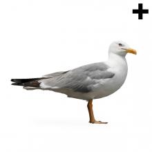 Imagen en la que se ve el plural del concepto gaviota
