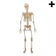 Imagen en la que se ve el plural del concepto esqueleto