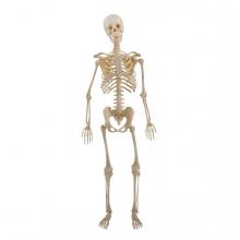 Imagen en la que se ve un esqueleto humano