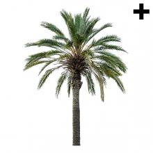 Imagen en la que se ve el plural del concepto palmera