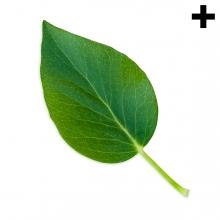 Imagen en la que se ve el plural del concepto hoja verde
