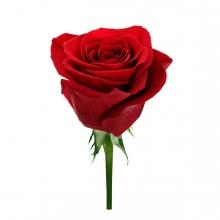 Imagen en la que se ve una rosa